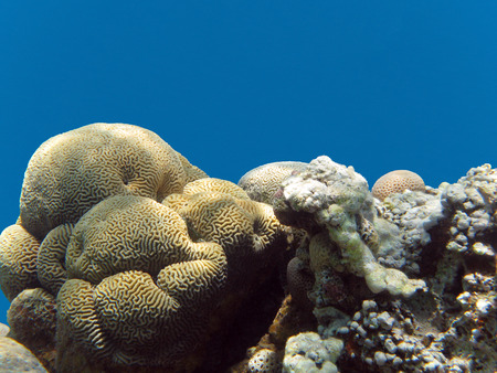 brain coral: coral reef with brain coral in tropical sea, underwater. Stock Photo