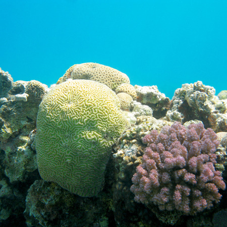 madreporaria: coral reef with brain coral in tropical sea, underwater. Stock Photo