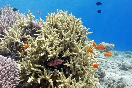 hard coral: coral reef with hard corals and fishes athias in tropical sea, underwater. Stock Photo