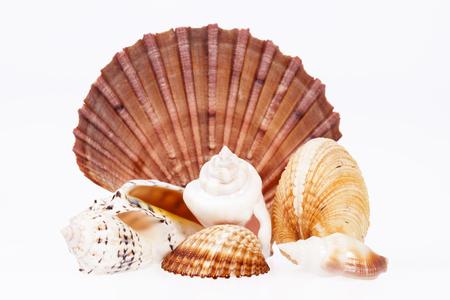 molluscs: various kind of seashells on white background