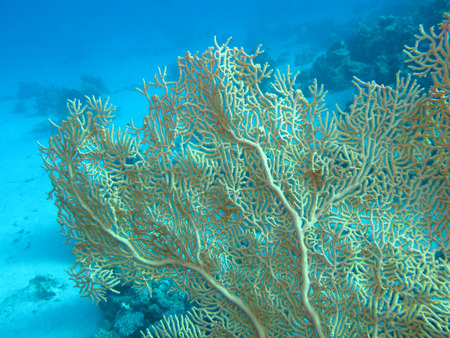 gorgonian sea fan: beautiful single gorgonian at thr bottom of tropical sea, underwater