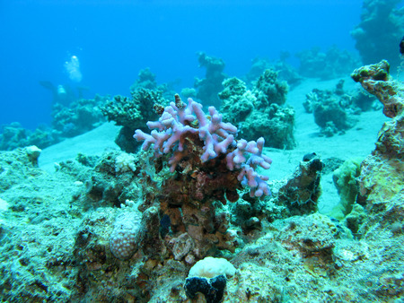 acropora: coral reef with violet finger coral at the bottom of tropical sea at great depths, underwater Stock Photo