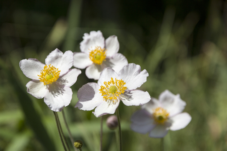 some flowers of Japanese anemone in garden, close up Stock Photo