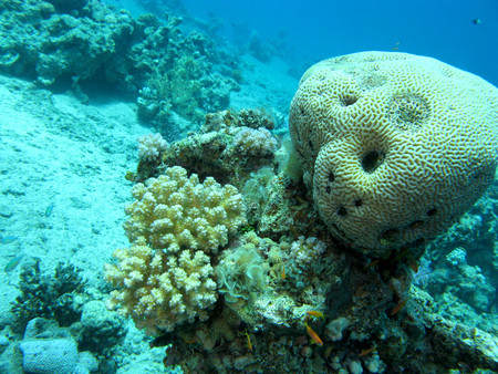 brain coral: coral reef with brain coral at the bottom of tropical sea at great depths, underwater