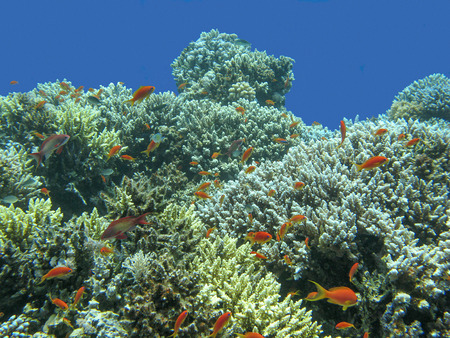 scleractinia: colorful coral reef with shoal of fishes scalefin anthias in tropical sea Stock Photo