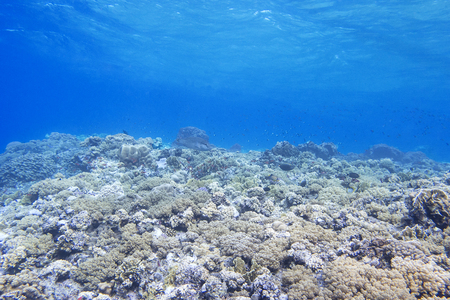 stony corals: coral reef in tropical sea on a background of blue water, underwater. Stock Photo