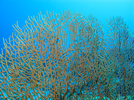 gorgonian sea fan: gorgonian at the bottom of tropical sea, underwater. Stock Photo