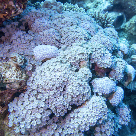 stony corals: coral reef with soft coral sessile xenia at the bottom of tropical sea , underwater