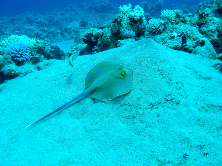 madreporaria: Bluespotted ray (Taeniura lymma) at the bottom of tropical sea, underwater Stock Photo