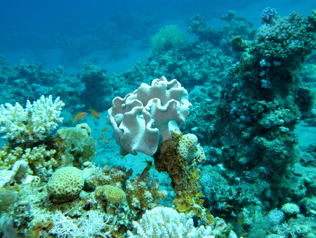 acropora: coral reef at the bottom of tropical sea, underwater.
