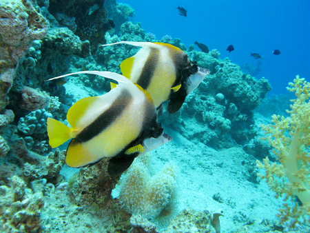 bannerfish: coral reef with bannerfishes at the bottom of tropical sea, underwater.