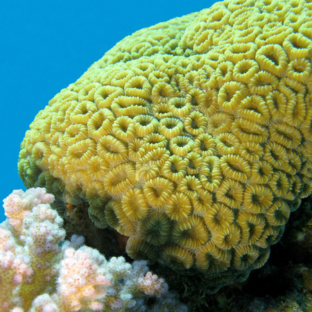 madreporaria: coral reef with brain coral at the bottom of tropical sea on a blue water background, underwater