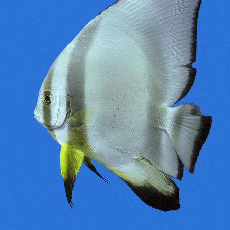 platax: single exotic fish circular batfish in tropical sea on a background of blue water, underwater