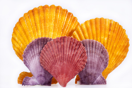 mollusk: some colorful seashells of mollusk isolated on white background, close up.