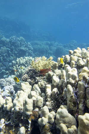 stony corals: coral reef with porites coral at the bottom of tropical sea, underwater Stock Photo