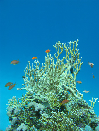 anthias: coral reef with great yellow fire coral and fishes Anthias at the bottom of tropical sea