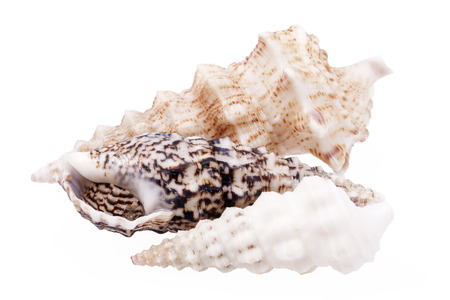 auger: Seashells of  Auger shells called Auger snails isolated on white background. Stock Photo