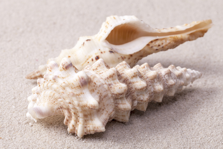 auger: sea shells of auger snail lying on the sand, close up. Stock Photo