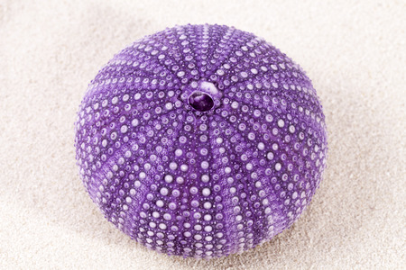oc: sea ??shell of violet sea urchin lying on the sand, close up.