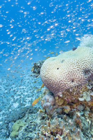 brain coral: coral reef with glass fishes at the bottom of tropical sea, underwater.