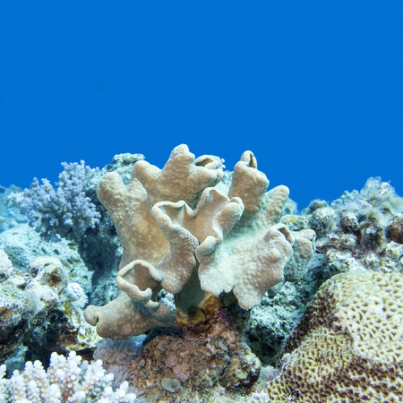 sarcophyton: coral reef with soft coral  at the bottom of tropical sea, underwater. Stock Photo