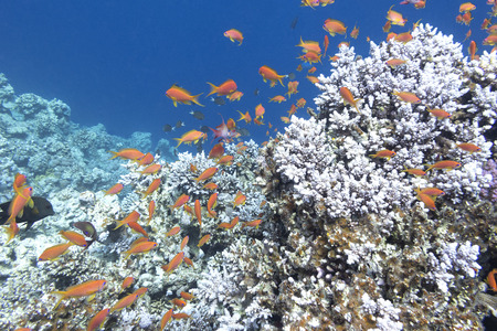 madreporaria: colorful coral reef with shoal of fishes scalefin anthias in tropical sea, underwater Stock Photo