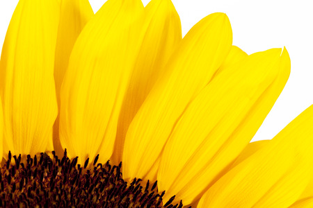 blooming sunflower on white background, close up.