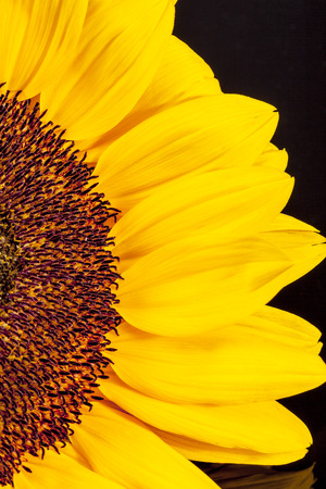 blooming sunflower on black  background, close up.