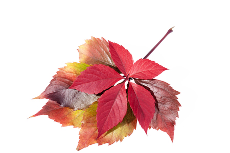 autumn colorful  leaves of parthenocissus  isolated  on white background. Stock Photo