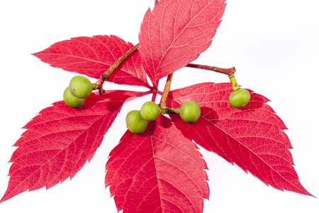 autumn colorfu l leaves of parthenocissus with green berry  isolated  on white background. Stock Photo