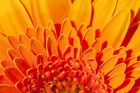 Background of flower of  orange gerbera, close up .