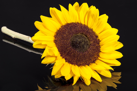 Single head of blooming sunflower isolated on white background Stock Photo