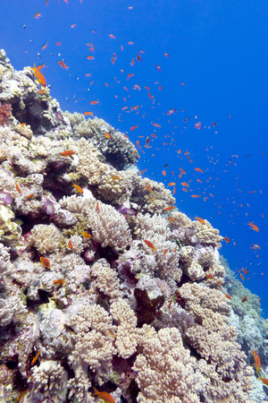 stony coral: coral reef with exotic fishes in tropical sea, underwater. Stock Photo