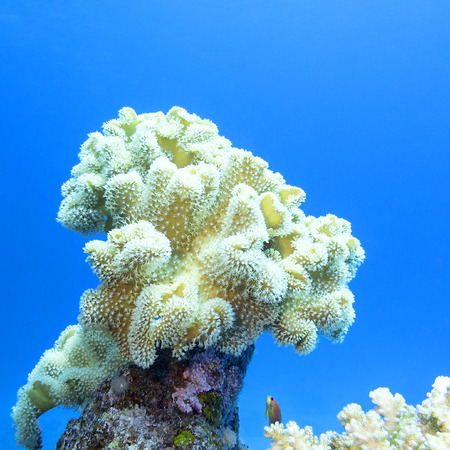 sarcophyton: coral reef with great yellow mushroom leather coral at the bottom of tropical sea, underwater Stock Photo