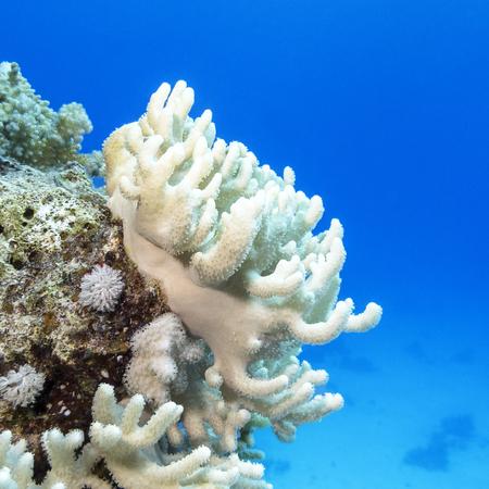 sarcophyton: Coral reef with white  turbinaria mesenterina  at the bottom of tropical sea, underwater Stock Photo