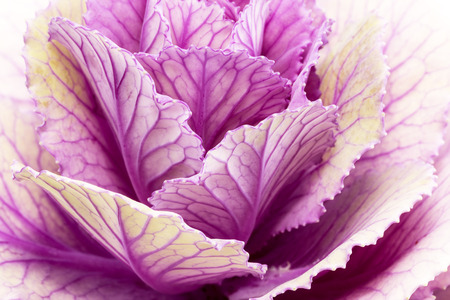 brassica: Single flower of violet  brassica oleracea - close up Stock Photo