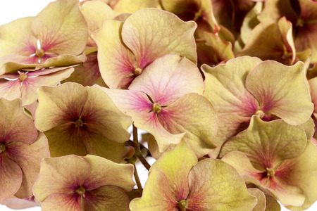 hydrangea macrophylla: Flower of hortensia (Hydrangea macrophylla) isolated on white background, close up Stock Photo