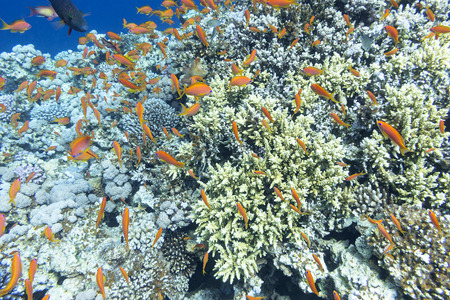 scleractinia: Colorful coral reef with shoal of fishes scalefin anthias in tropical sea, underwater Stock Photo