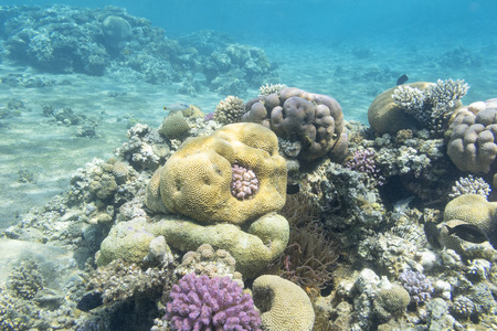 coral reef with brain coral at the bottom of tropical sea, underwater