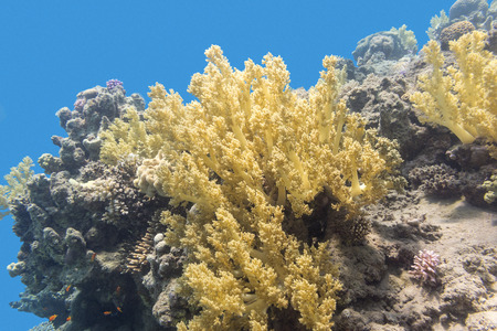 madreporaria: coral reef with yellow broccoli coral at the bottom of tropical sea, underwater.