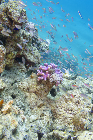 madreporaria: Coral reef with exotic fishes in tropical sea, underwater