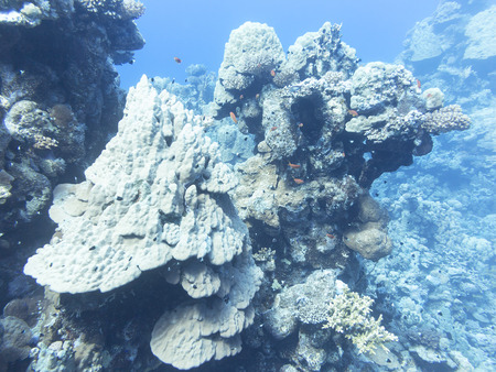 madreporaria: Coral reef at the bottom of tropical sea, underwater