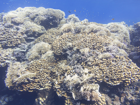 scleractinia: Coral reef at the bottom of tropical sea, underwater