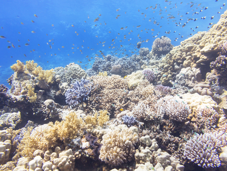 hard coral: Coral reef at the bottom of tropical sea, underwater.