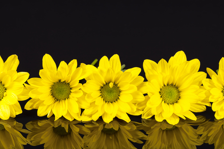 oxeye: Flowers of yellow marguerite (Leucanthemum vulgare) isolated on black background, reflection