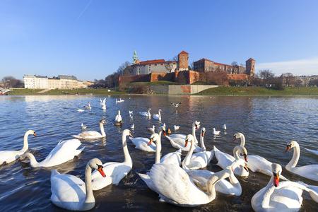 Herd of swans on Vistula river near Wawel Royal Castle, Krakow, Poland.