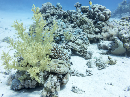 madreporaria: Coral reef at the bottom of tropical sea, underwater.
