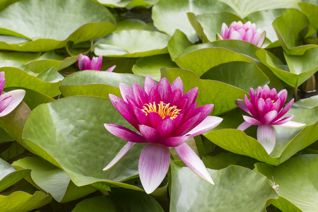 Pink flowers of  nenuphar (Nymphaea) with leaves . Stock Photo