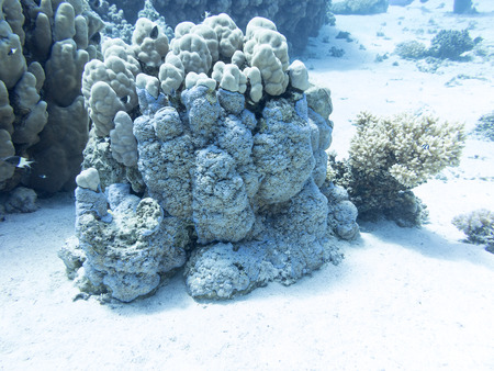 hard coral: Coral reef at the bottom of tropical sea, underwater