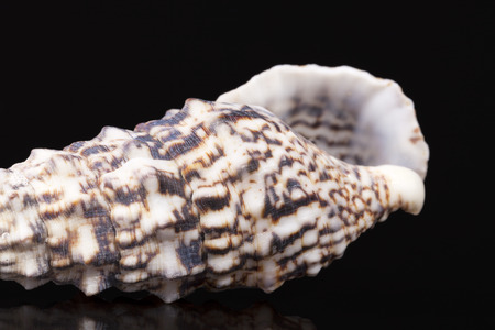 auger: Sea shell of auger snail isolated on black background, reflection